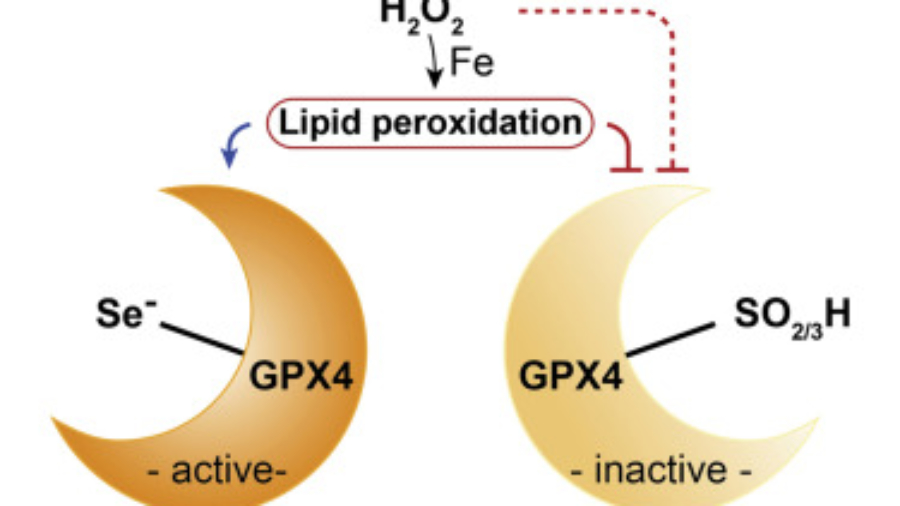 GPX4-Cys bypasses the requirement of selenoproteins for cell viability